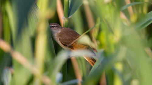 CETTISANGER - CETTI'S WARBLER