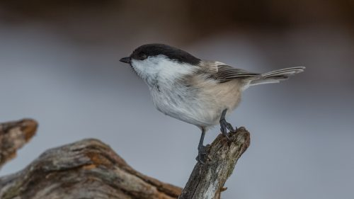 GRANMEIS - WILLOW TIT