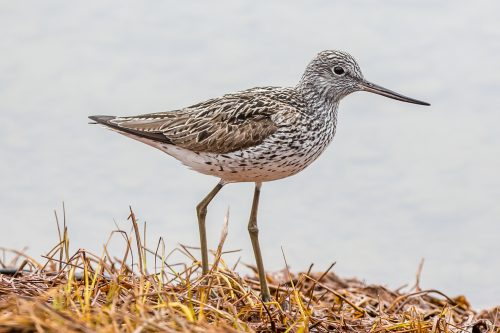 GLUTTSNIPE - COMMON GREENSHANK