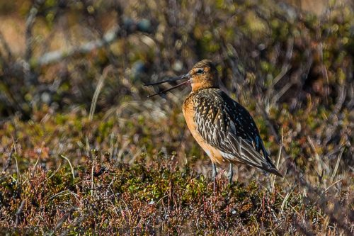 LAPPSPOVE - BAR-TAILED GODWIT
