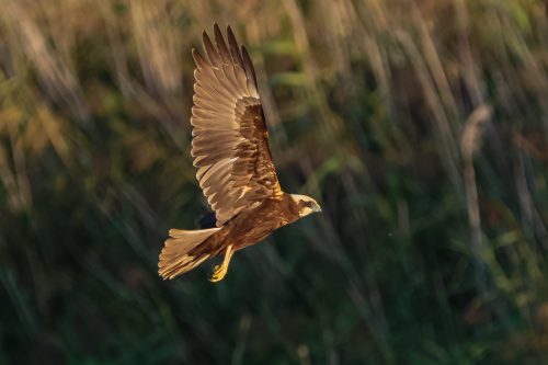 SIVHAUK - MARSH HARRIER