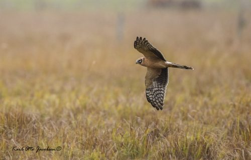 STEPPEHAUK - PALLID HARRIER