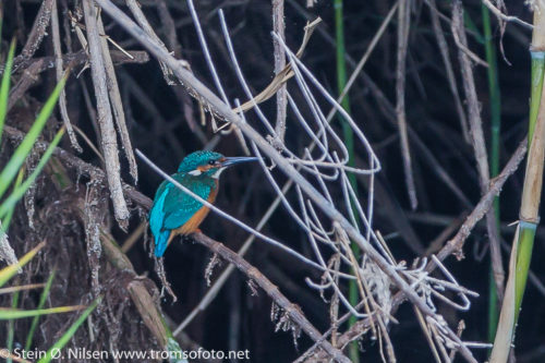 ISFUGL - KINGFISHER
