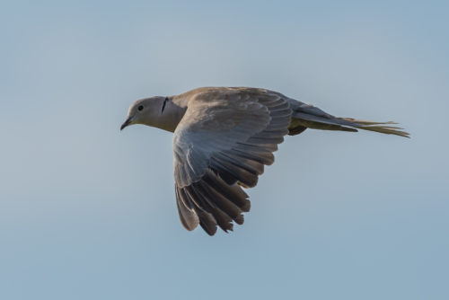 TYRKERDUE - COLLARED DOVE