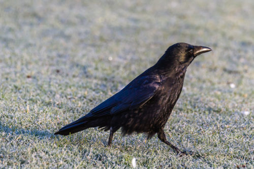 SVARTKRÅKE - CARRION CROW